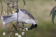 Noisy Friarbird | by 0ystercatcher