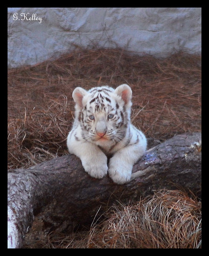 Baby White Tiger.... | by Kelley&Kelley