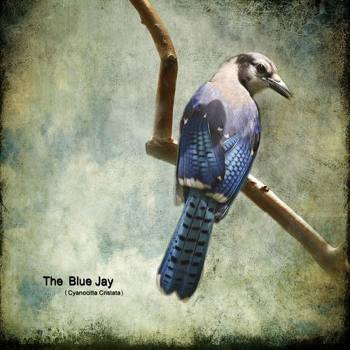 The Blue Jay | by melepix