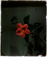 Hibiscus | by George Eastman Museum