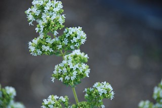oregano_20080718_1.jpg | by faeparsons