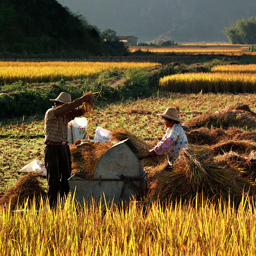 Paddy Harvest | by andyyleung