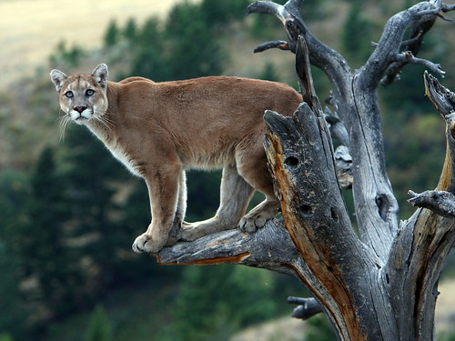 Pumas (Cougars, Mountain Lions)
