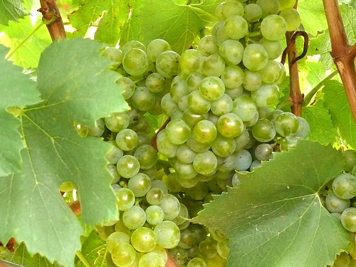 Chardonnay grapes | by Bodegas Urabain
