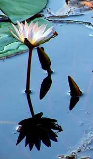 Lilly reflection 1 | by Linda230 / busy