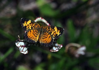 Pearly Crescent-Spot Butterfly | by bamboosage