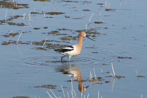 AMERICAN   AVOCET | by dstrelioff55