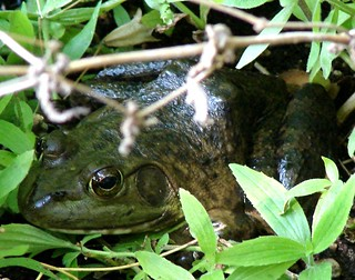 Tuesday's frog (September 9, 2008) | by EcoSnake