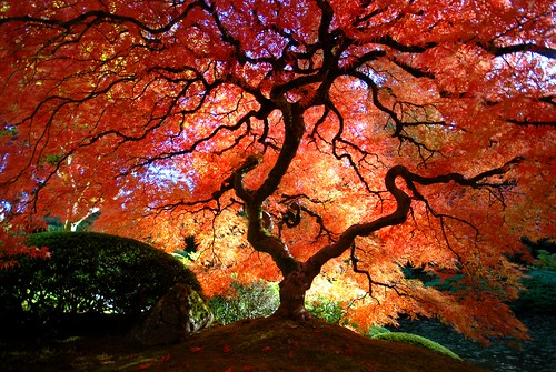 Japanese Maple in the Fall | by Gigapic