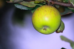 Apple in September | by rosewoodoil