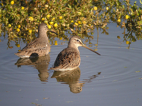 Long-billed Dowitchers - adult and juv | by Len Blumin