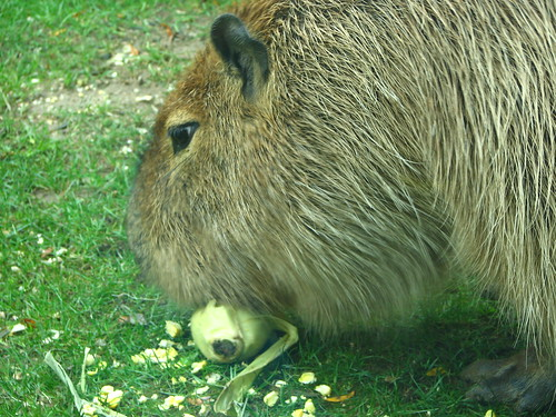 Capybara eating corn on the cob | by a real tomato