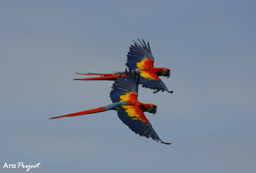 On the wing in perfect harmony | by City Parrots