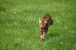 Bengal Cat | by roberto shabs