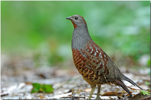 DSC_4099-Bamboo Partridge | by richard2formosa