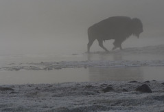 BISON | by ThijsFr