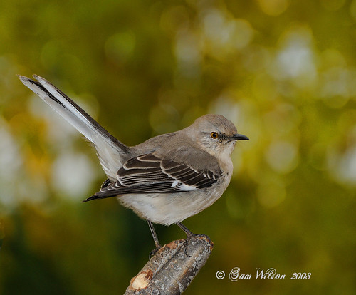 Northern Mockingbird ( Adult ) | by wilson.sam55