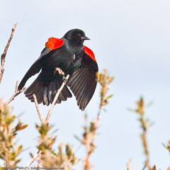Red-winged Blackbird, Agelaius phoeniceus, 2 of 2 | by mikebaird