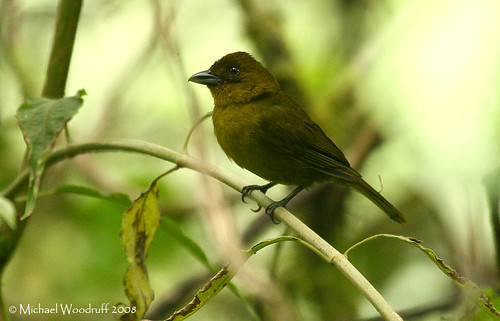 Olive Tanager | by Michael Woodruff