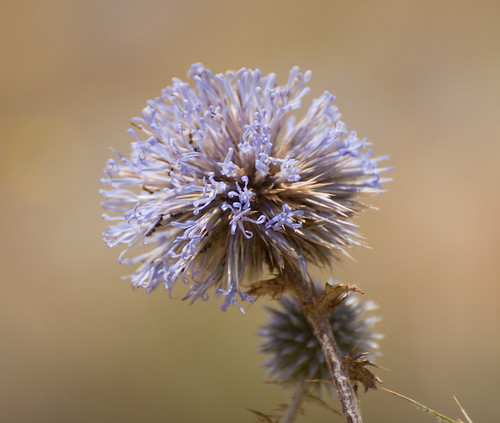 Globe Thistle Flowers | by Hani London