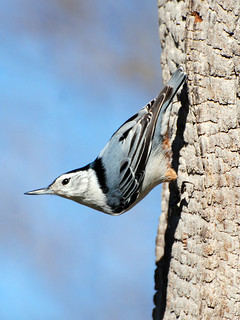 White-breasted Nuthatch | by 1F Photos