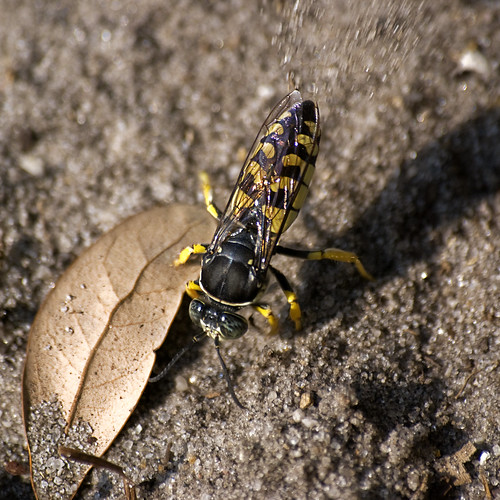 Horse Guard Wasp | by www.LKGPhoto.com
