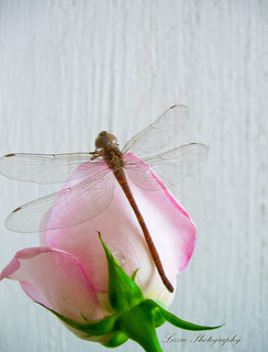 My Dragonfly is Taking a nap! | by Lizzie Gt ♥ God bless you!!!