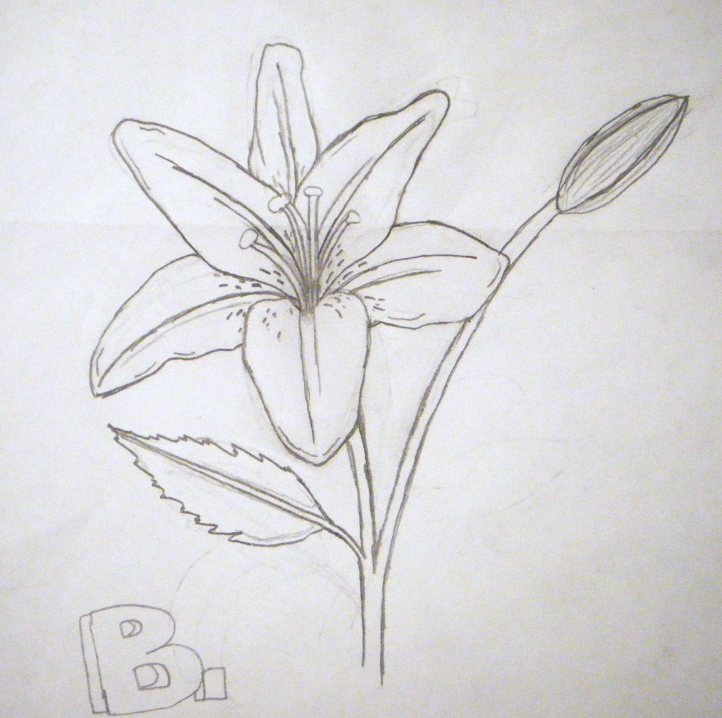 Lily Drawing This Is Just A 20 Minute Sketch Of A Lily T Flickr