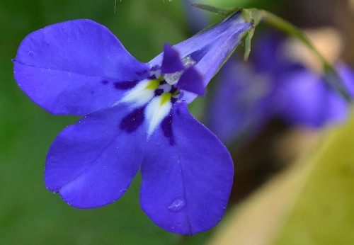 Lobelia 2 | by GemElle Photography - off & on sorry