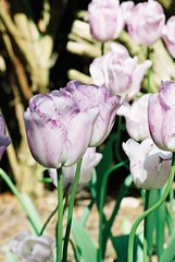 White Tulips, Streaked Mauve, in Bright Sunlight | by rosewoodoil