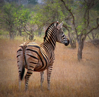 A Lone Zebra | by Sandra Leidholdt on Autumn Break
