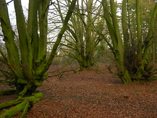 Beech pollards | by Giles Watson's poetry and prose