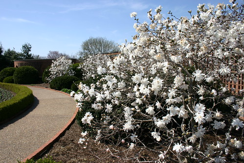 Star Magnolia bushes in the | by Dan Coulter