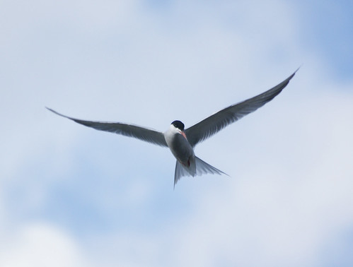 Common Tern | by Tim Walton Photography.