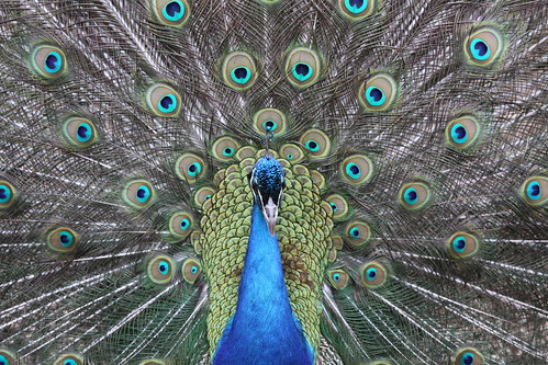 Peacock_32 | by huw.shields