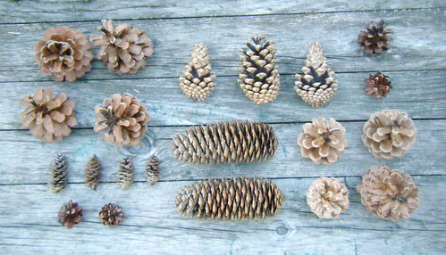 pine and spruce cones | by knitalatte11