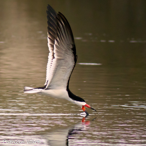 Black Skimmer  skimmin' for fish | by Patricia Ware