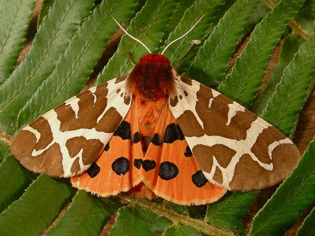1221 Arctia caja - Garden Tiger Moth 8166   DSCF9832.JPG win…   Flickr