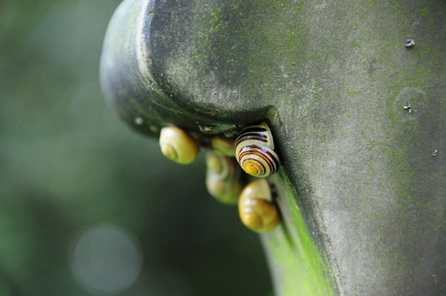 White Lipped Snails (Cepaea hortensis) on a Grave Stone, All Saints Church, Darfield, Barnsley | by Steve Greaves