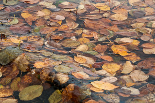 Leaves Adrift on Water | by Sharon Mollerus