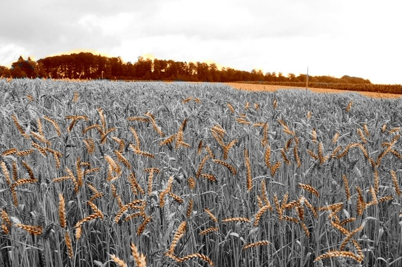 Sepia & bw wheat field