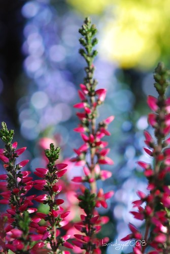 heather bokeh wednesday | by bridgy2008