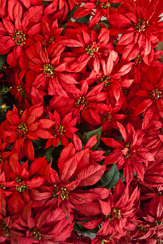 Christmas Poinsettias | by chazlever