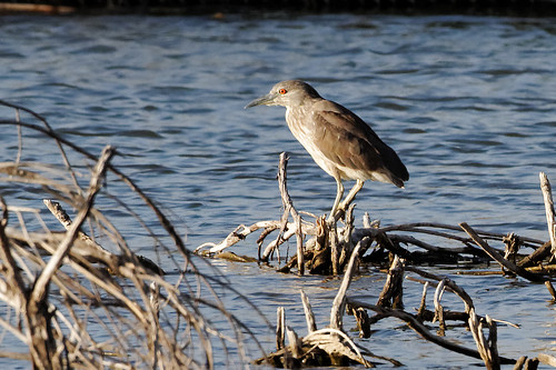 Female night-heron fishing | by dcstep