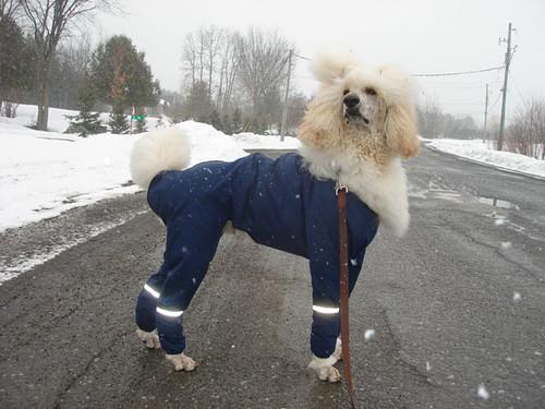 Poodle raincoat