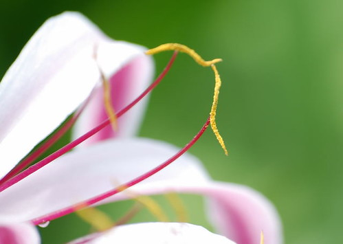 Pink Lily Anthers | by ek'nmy