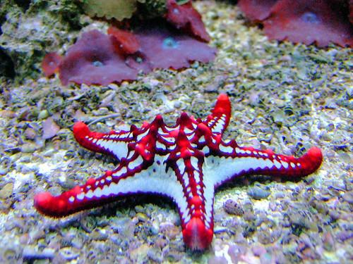 Red Knobbed Starfish Quot Deutsches Meeresmuseum Quot Stralsund