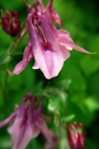 European Columbine | by Wayfaring Wanderer