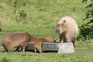 Capybara family lunchtime | by Austen2007