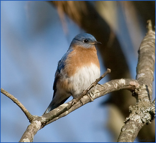 Eastern Bluebird | by jumahl